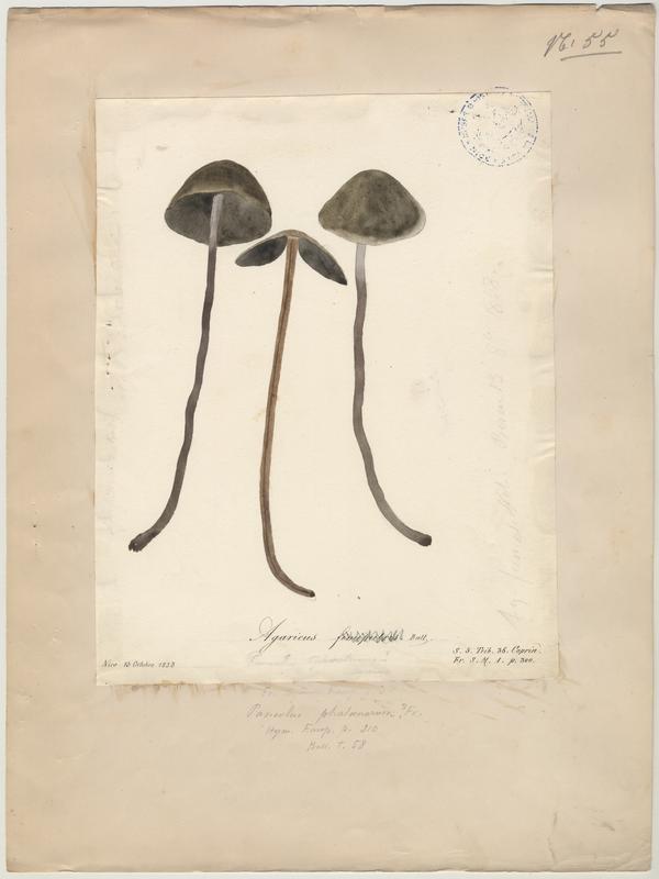 Agaric de terreau ; champignon_0
