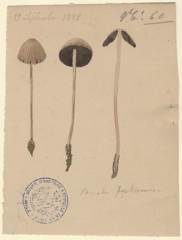 Panéole à marge dentée ; Panéole à bord denté ; Panéole papilionacé ;champignon_0