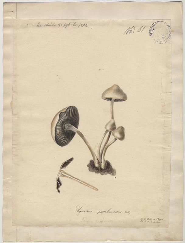 Panéole à marge dentée ; Panéole à bord denté ; Panéole papilionacé ; champignon_0