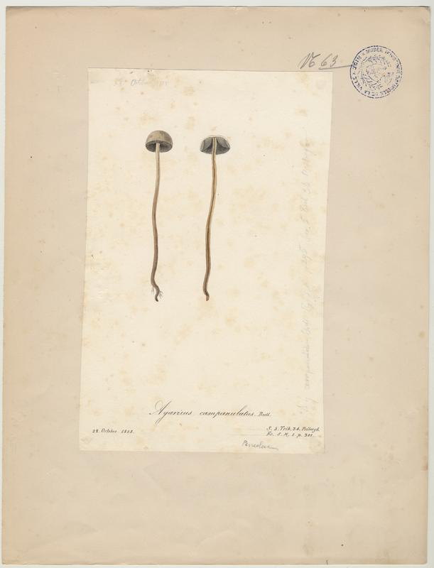 Panéole à marge dentée ; Panéole à bord denté ; Panéole papilionacé ; champignon