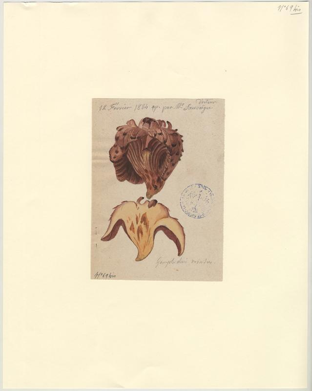 Gomphide rutilant ; Gomphide visqueux ; Clou rouge ; champignon_0