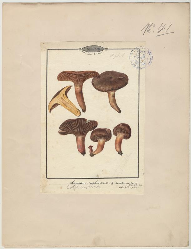 Gomphide rutilant ; Gomphide visqueux ; Clou rouge ; champignon