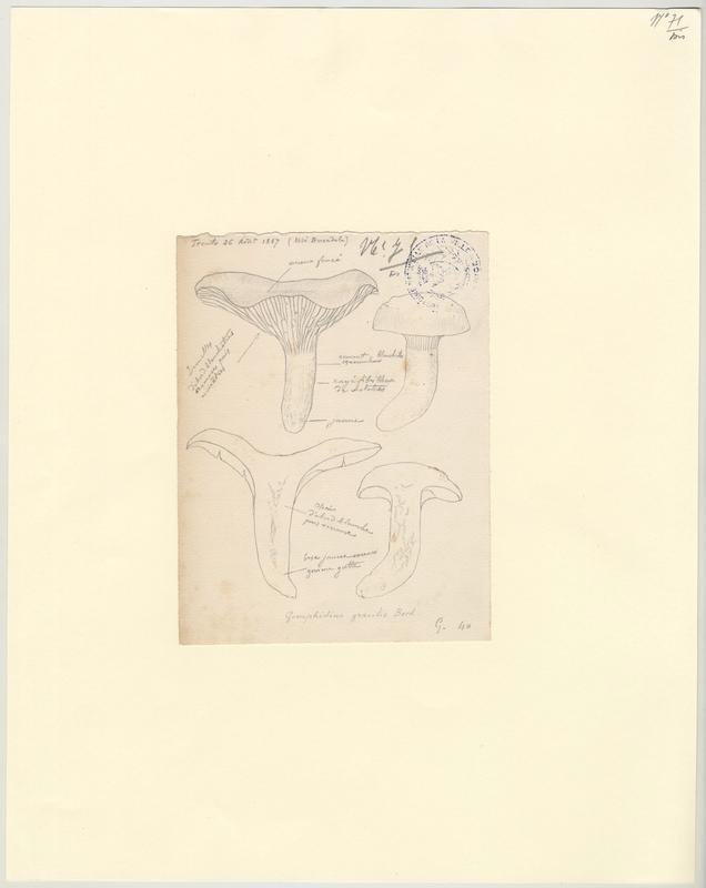 Gomphide gracile ; champignon_0