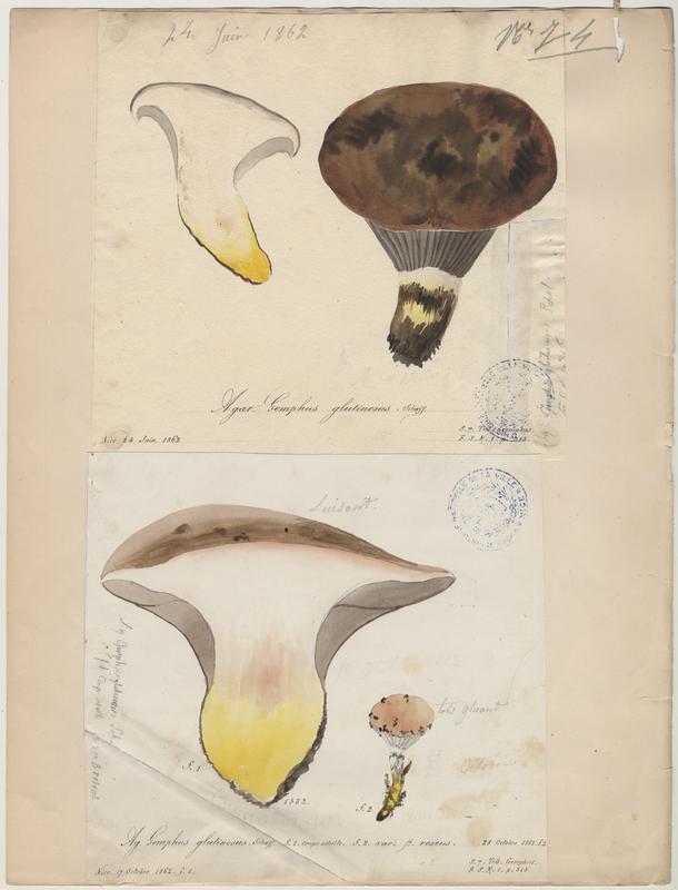 Gomphide glutineux ; Mufle de vache ; champignon_0