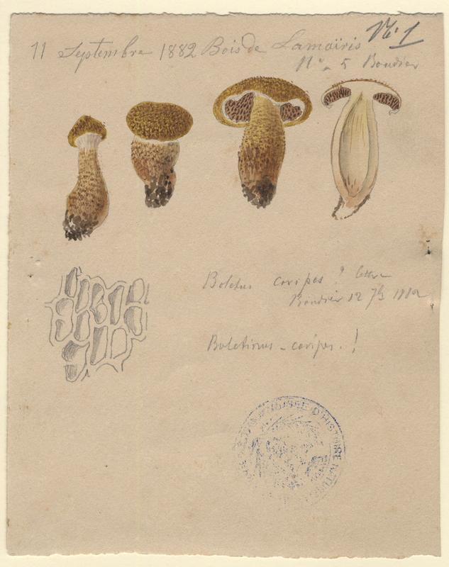 Bolet à pied creux ; champignon_0