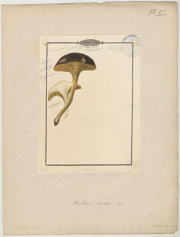 Bolet livide ; Bolet de l'aulne ; champignon_0
