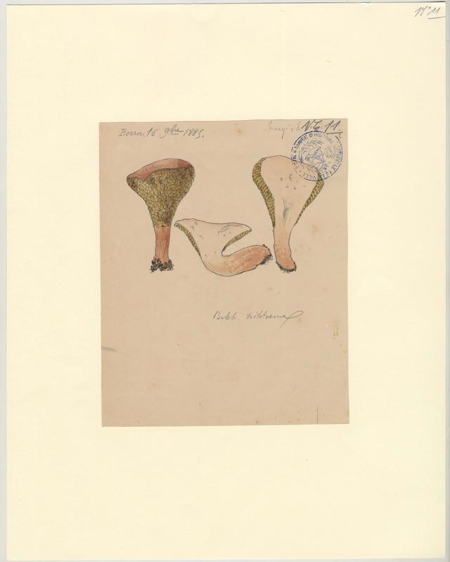 Bolet livide ; Bolet de l'aulne ; champignon