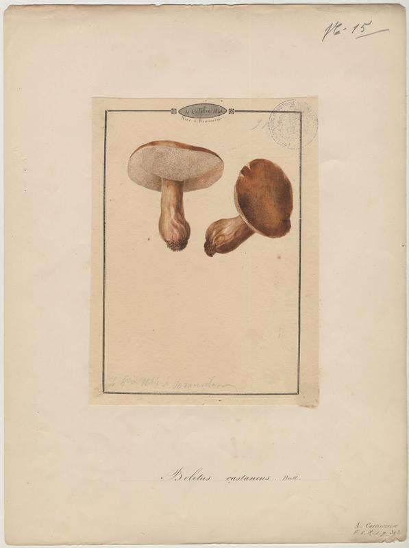 Bolet châtain ; champignon