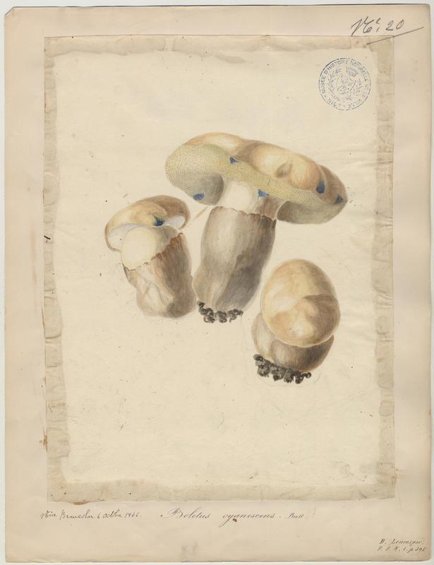 Bolet indigotier ; champignon