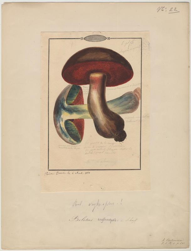 Bolet à pied rouge ; champignon_0