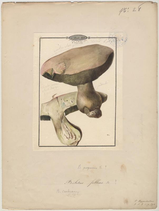 Bolet amer ; Bolet de fiel ; Chicotin ; Faux cèpe ; champignon_0