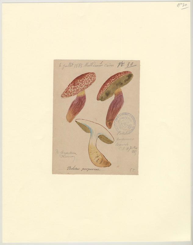 Bolet vieux rose ; Bolet rouge pourpre ; champignon