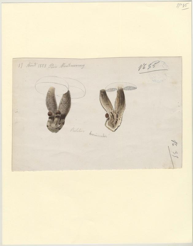 Bolet des peupliers ; Bolet rude des trembles ; champignon
