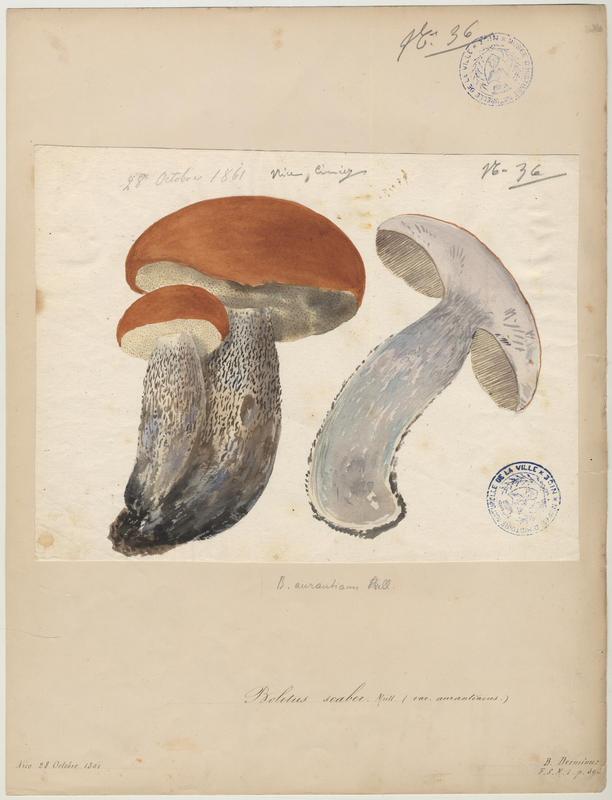 Bolet rude ; Bolet raboteux ; Bolet rugueux ; Cèpe gris ; champignon