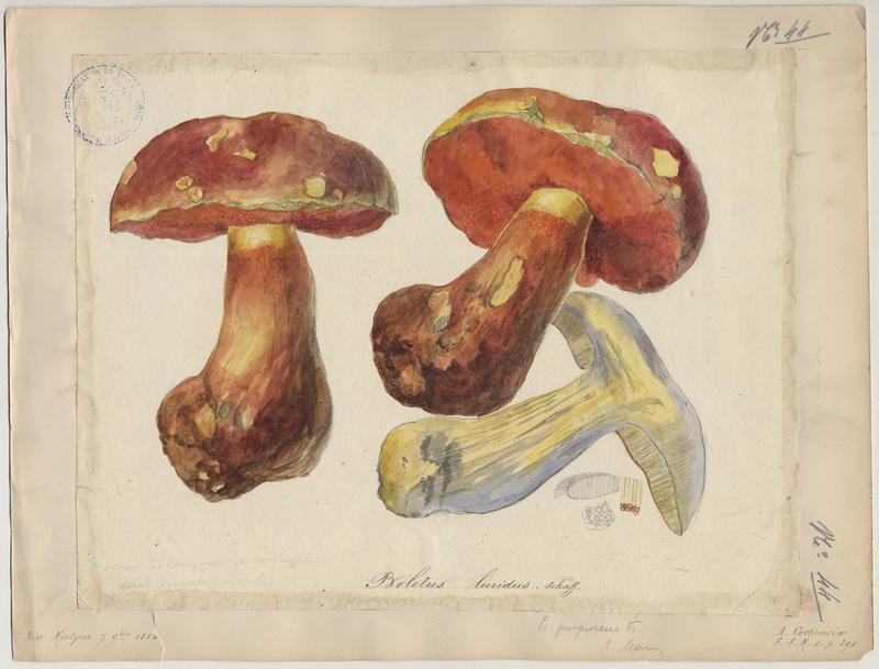 Bolet blafard ; champignon_0