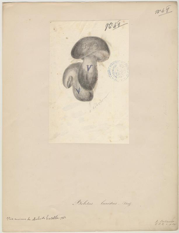 Bolet blafard ; champignon