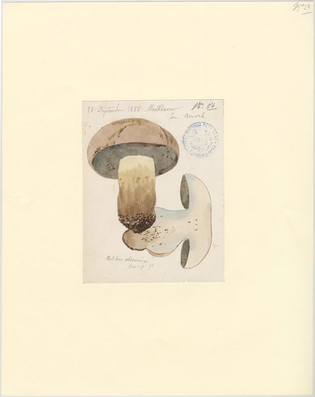 Bolet chauve ; champignon_0