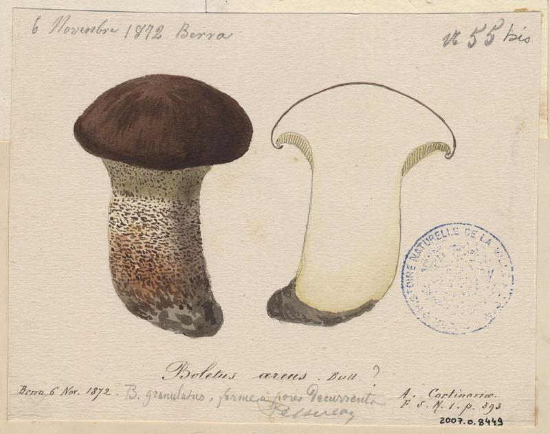 Cèpe bronzé ; Cèpe à tête noire ; champignon