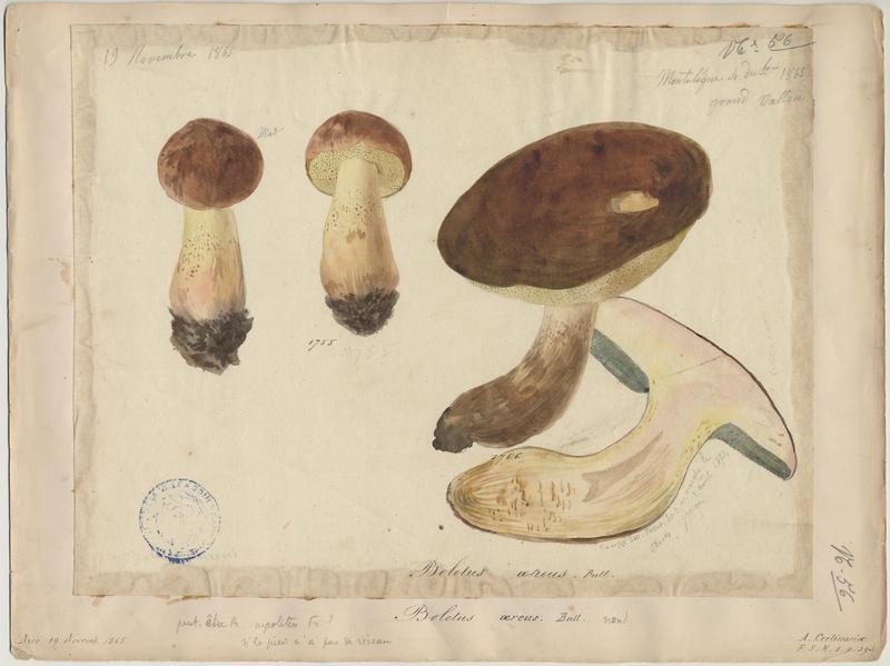 Cèpe bronzé ; Cèpe à tête noire ; champignon_0