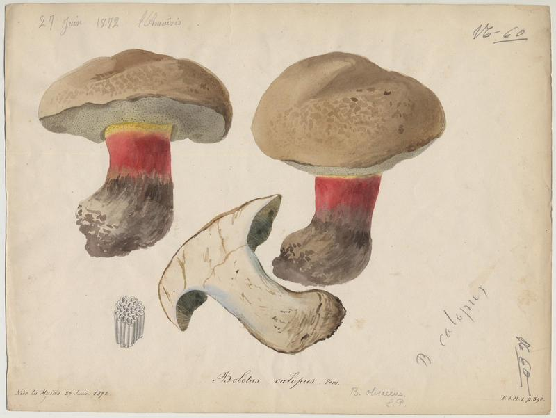 Bolet à beau pied ; champignon_0