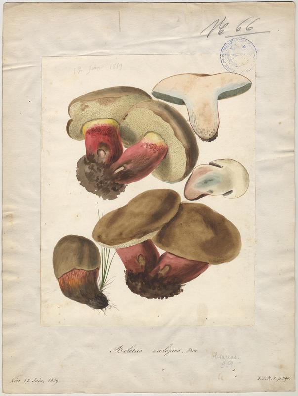 Bolet à beau pied ; champignon