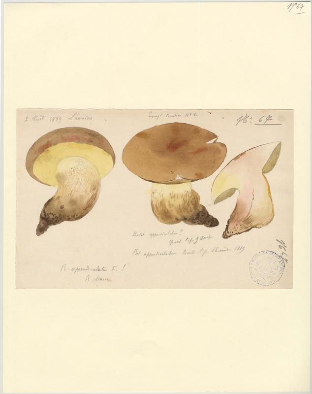 Bolet appendiculé ; champignon_0