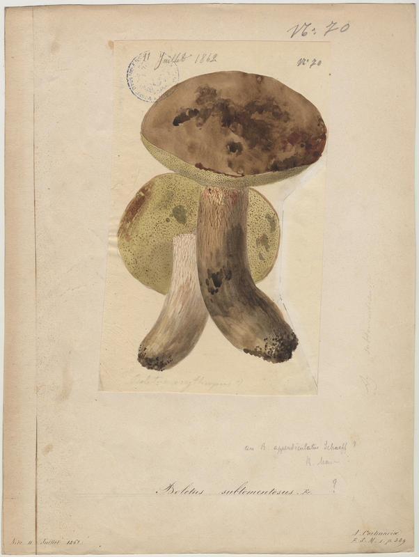 Bolet tomenteux ; Bolet velouté ; Cèpe mou ; champignon_0
