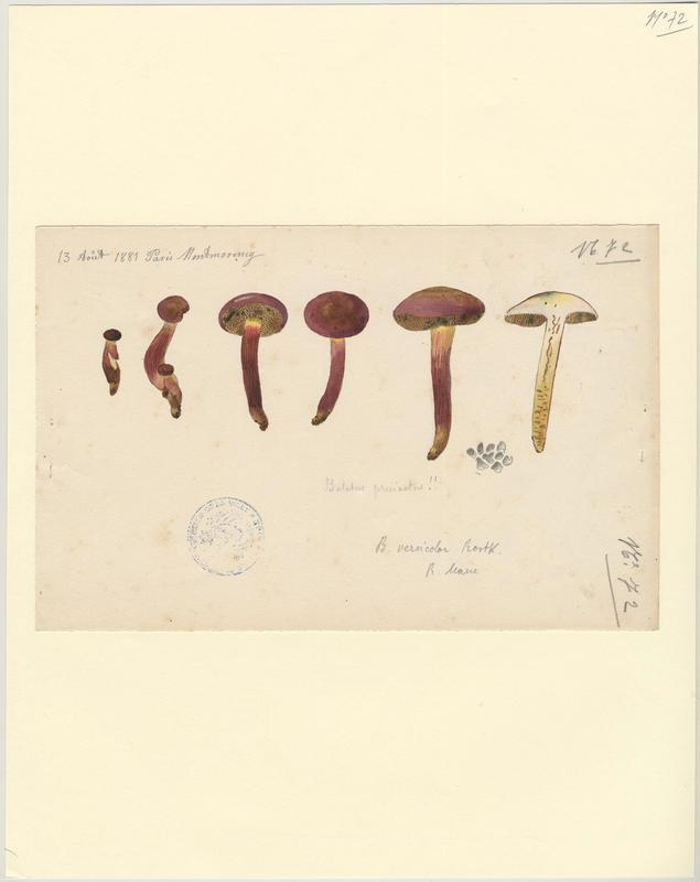 Bolet pruineux ; champignon_0