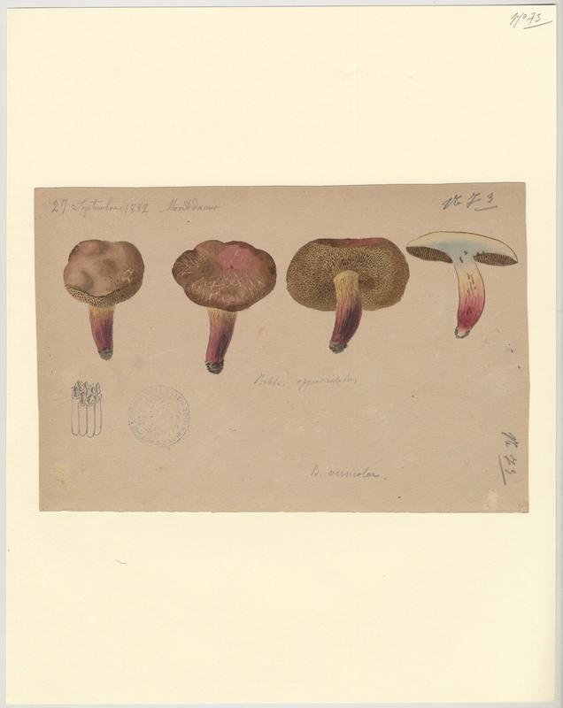 Bolet framboise ; Bolet rougeâtre ; champignon