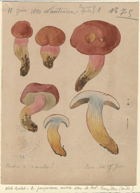 Bolet framboise ; Bolet rougeâtre ; champignon_0
