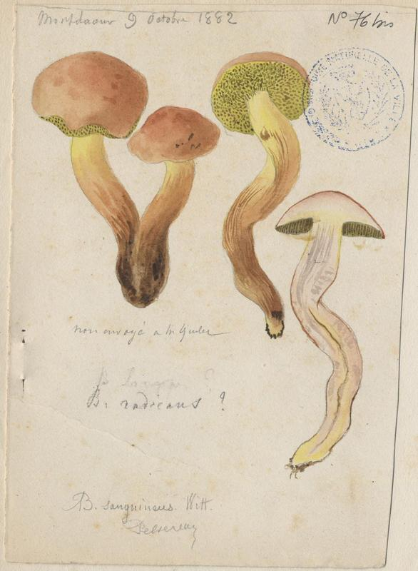 Bolet radicant ; champignon_0
