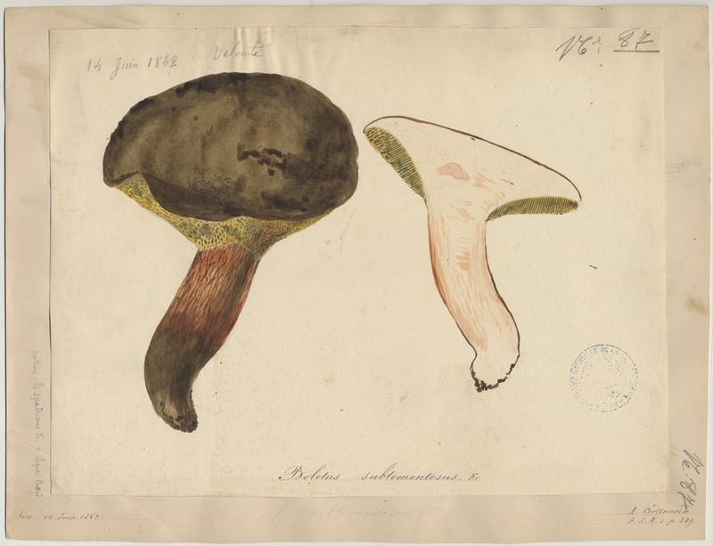 Bolet tomenteux ; Bolet velouté ; Cèpe mou ; champignon