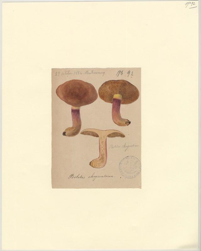 Bolet à chair jaune ; champignon_0