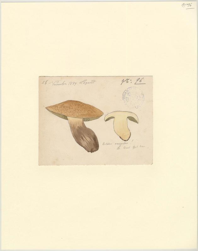 Bolet tacheté ; Bolet moucheté ; champignon