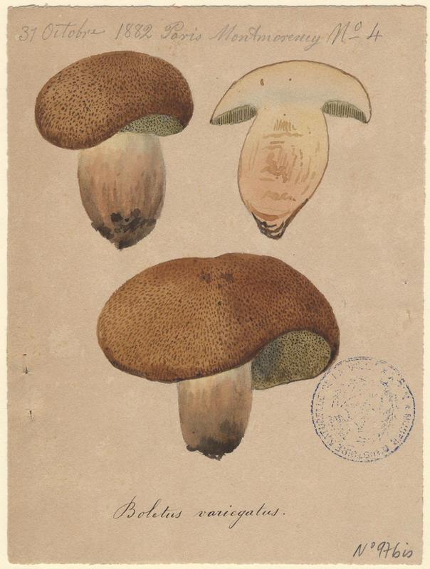 Bolet tacheté ; Bolet moucheté ; champignon_0
