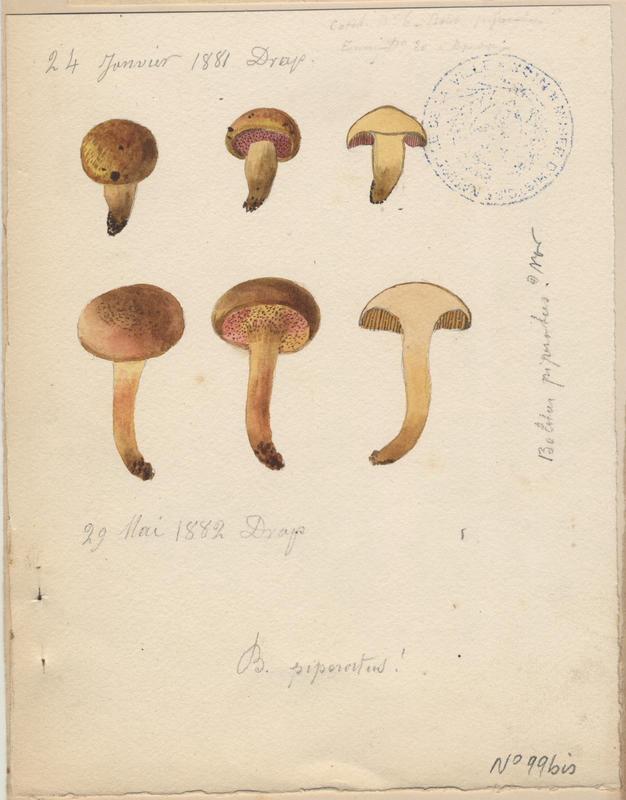 Bolet poivré ; champignon_0
