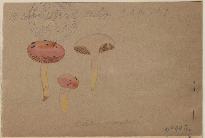Bolet poivré ; champignon