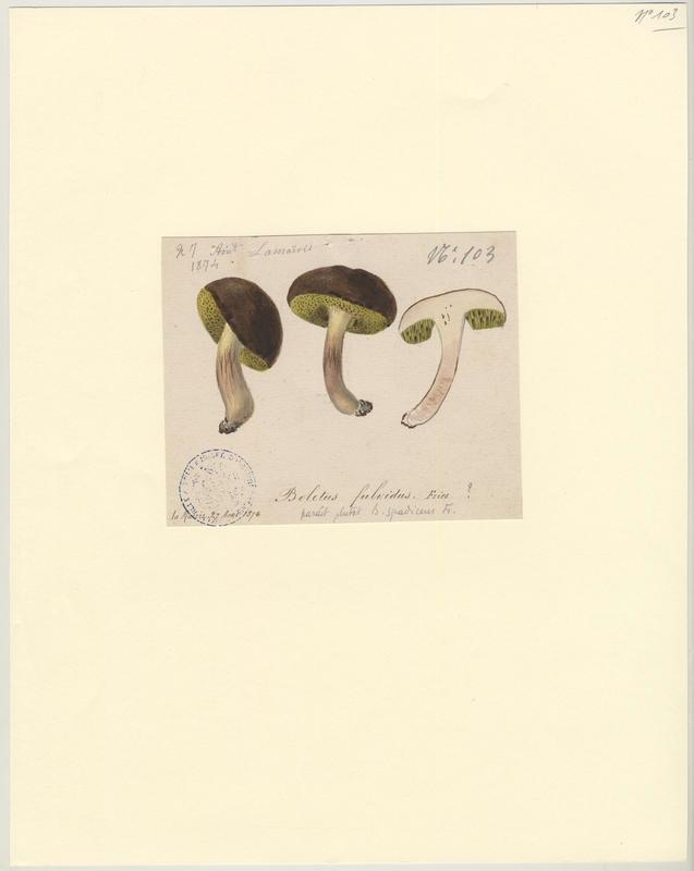 Bolet châtain ; champignon_0