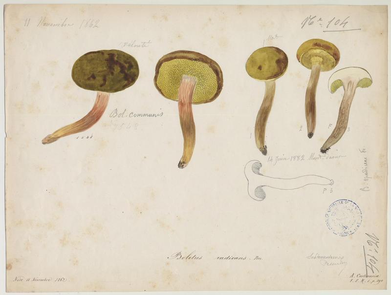 Bolet radicant ; champignon
