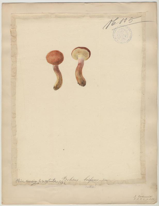 Bolet des bouviers ; champignon_0