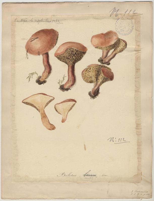 Bolet des bouviers ; champignon
