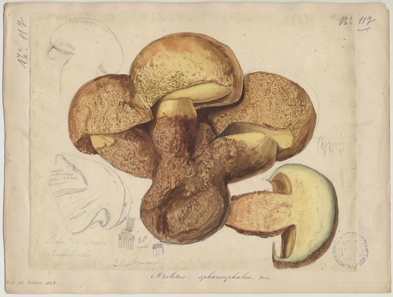 Bolet à moitié jaune (?) ; champignon_0