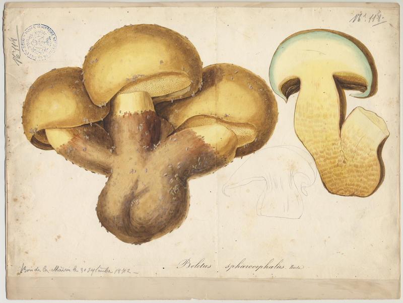 Bolet à moitié jaune (?) ; champignon