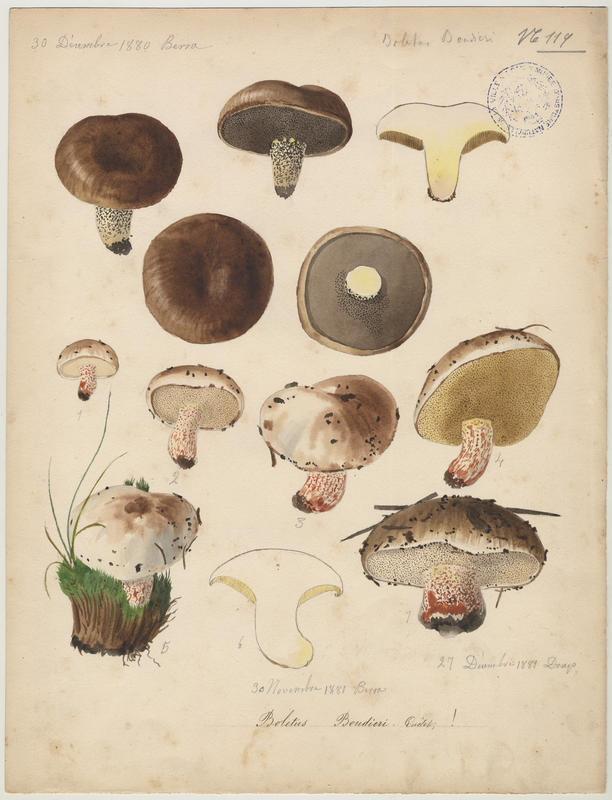 Bolet de Boudier ; champignon_0
