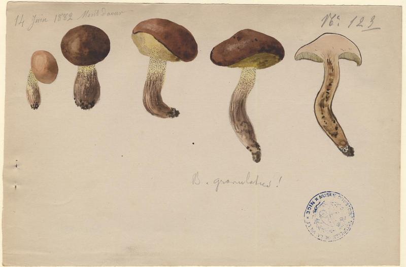 Bolet granulé ; champignon