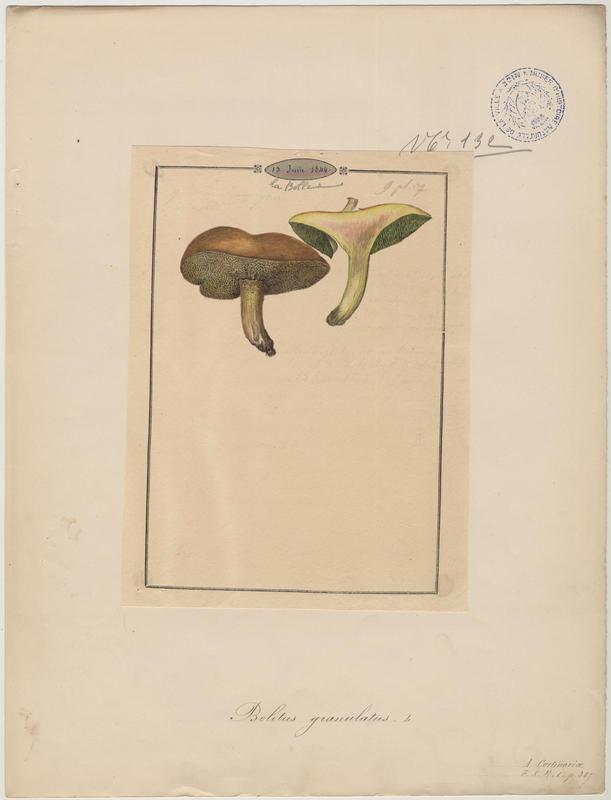 Bolet granulé ; champignon_0