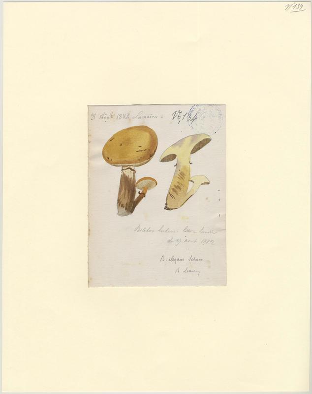 Bolet jaune ; Cèpe jaune ; Nonette voilée ; champignon