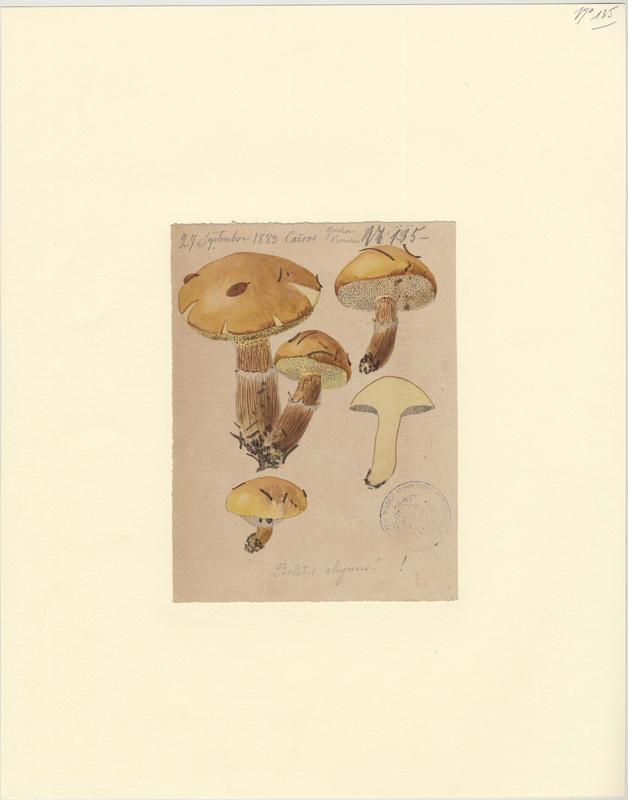 Bolet élégant ; champignon_0