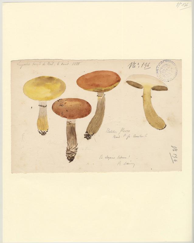 Bolet jaune clair ; champignon