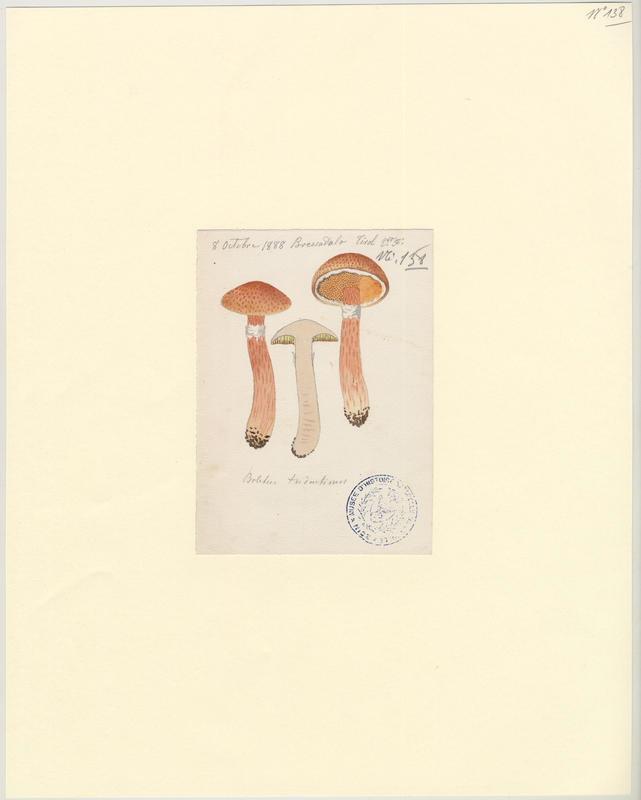 Bolet du Trentin ; champignon_0